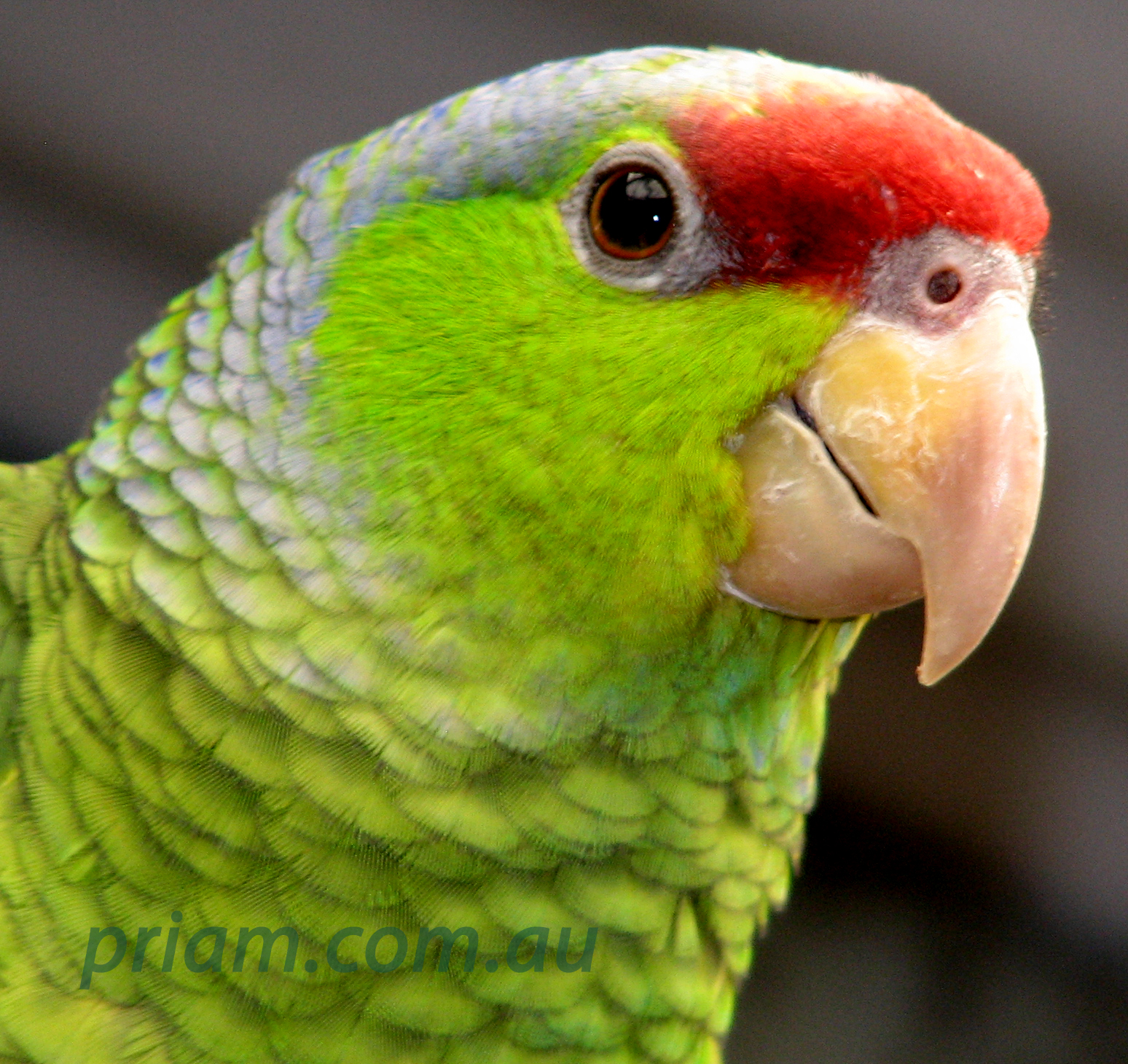 Amazon: Lilac-crowned Amazon From Priam Parrot Breeding