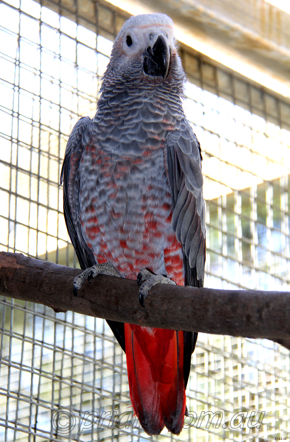 African Grey Parrots Dissertation