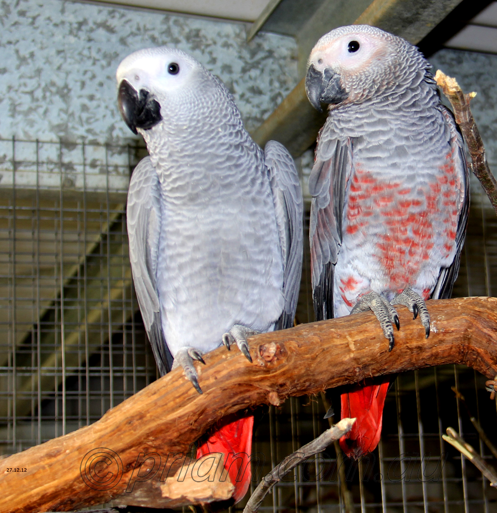 Congo African Grey From Priam Parrot Breeding