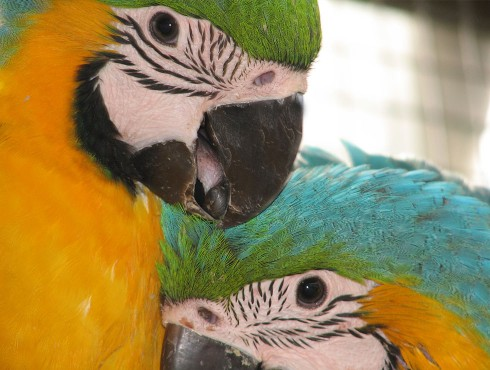 blue-and-gold-macaw-021-490x370.jpg