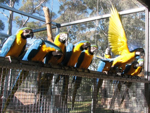 Blue And Gold Macaw Group