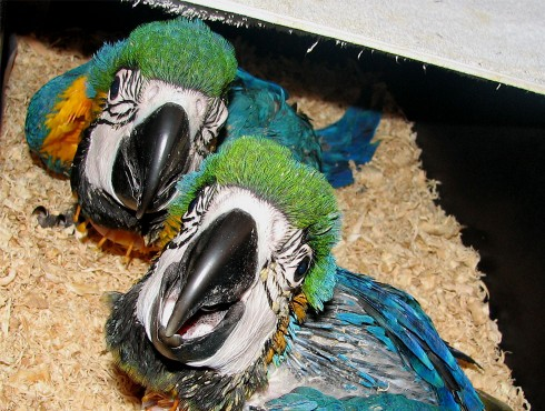 Blue And Gold Macaw Chicks