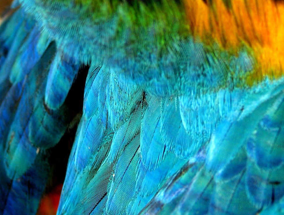 Parrot feathers - photo#28