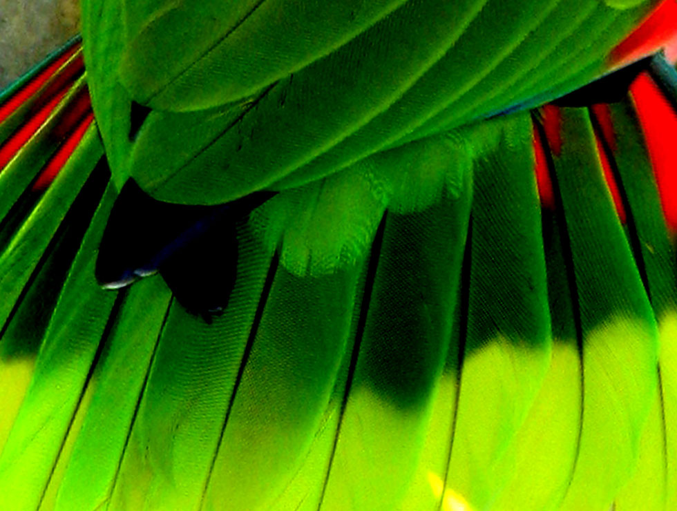 Parrot feathers - photo#27