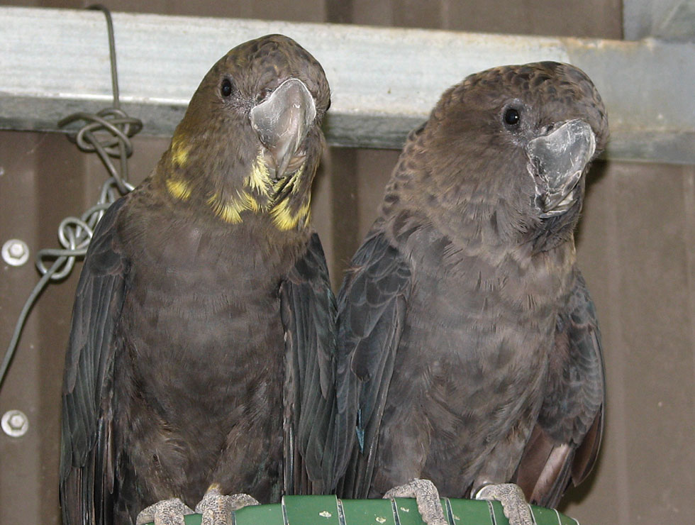 Glossy Black Cockatoo – Species Information from Priam Parrot Breeding