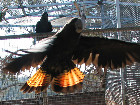 Glossy Black Cockatoo Flying