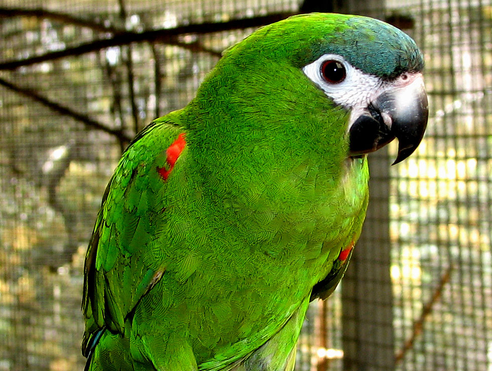 south american parrots from priam parrot breeding