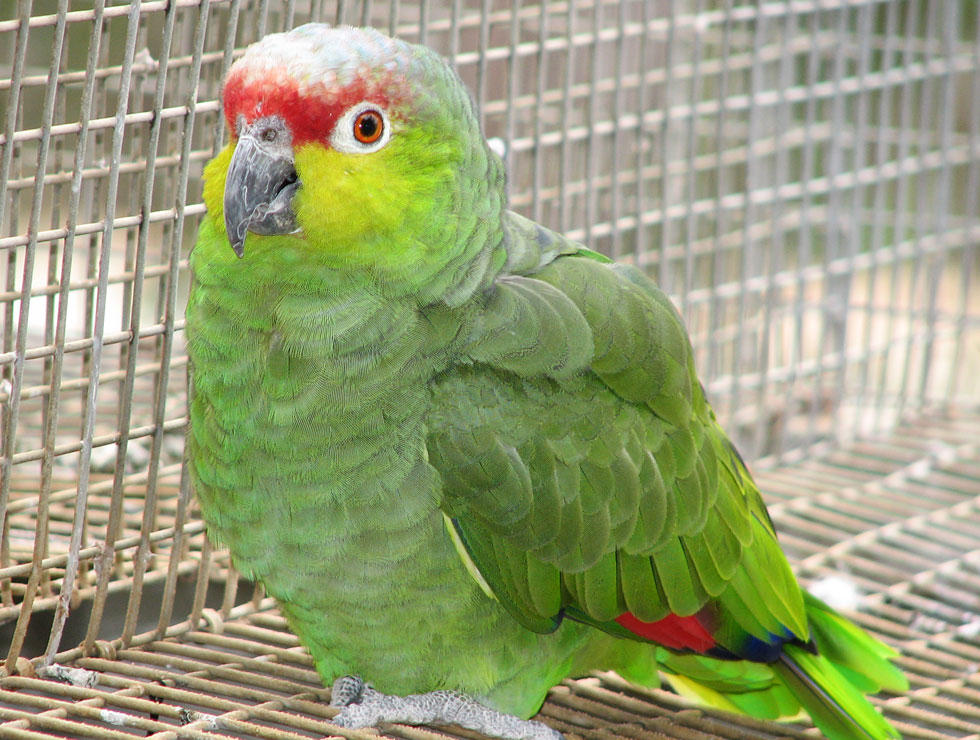 Amazon Parrots From Priam Parrot Breeding