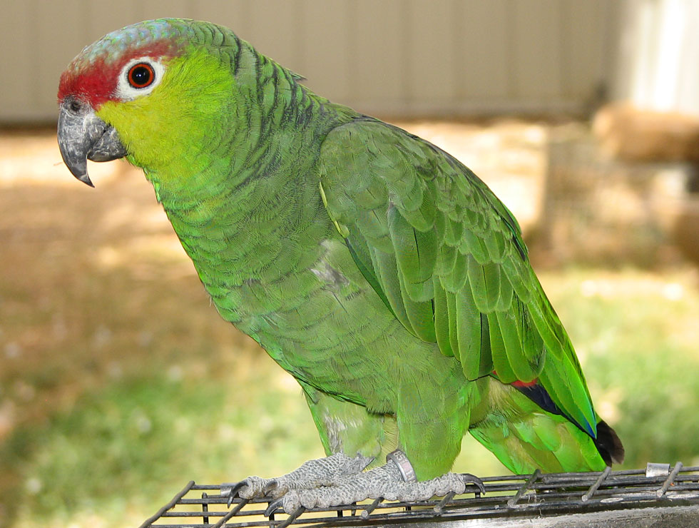 Lilacine Amazon Species Information From Priam Parrot