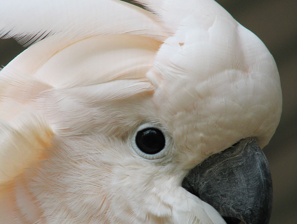 Moluccan Cockatoo from Priam Parrot Breeding