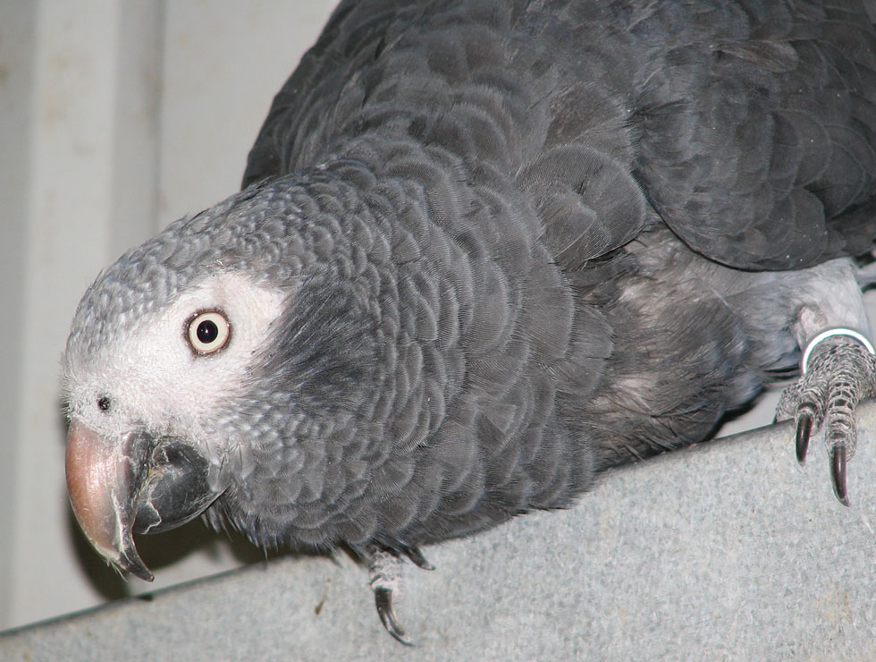 timneh african grey from priam parrot breeding