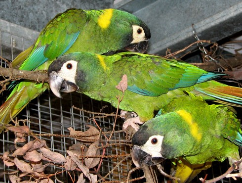 Yellow-collared Macaws