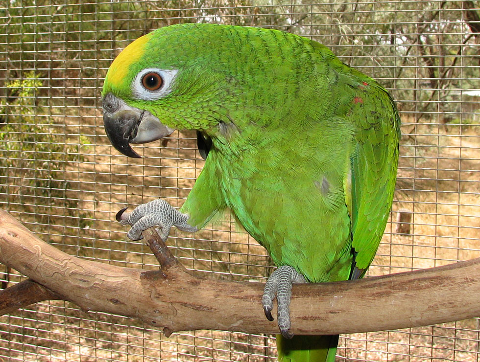 Amazon Parrots from Priam Parrot Breeding Yellow Crowned Amazon